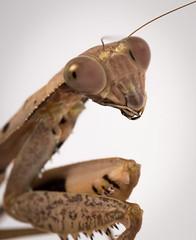 Prohierodula picta (pullchris) Tags: macro nature animal insect eyes nikon wildlife threat prayingmantis invertebrate mantid arthropod