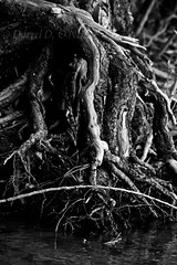 The Erosion of Circumstance Serves to Expose Where Your Strength Really Is (LongInt57) Tags: trees bw white canada black nature water grey mono bc okanagan gray lakes roots erosion kelowna tangle exposed eroded