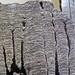 Stromatolitic limestone (Chencha Formation, upper Neoproterozoic, 580 Ma; Patom Upland, Siberia, Russia) 2