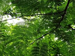 Mimosa Leaves I (severalsnakes) Tags: vacation lake sony cybershot lakeoftheozarks ozarks memorialday wx350 saraspaedy