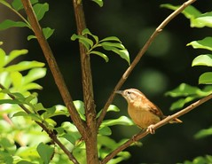 Carolina Wren (Anne Davis 773) Tags: bird carolinawren 149365 2015365