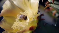 Bumble rumble (EllenJo) Tags: cactus flower video blossom bees bee bloom fighting pricklypear quarreling honeybees 2016 july14 ellenjo analoglensondigitalcamera pentaxklens pentaxqs1 vintagepentaxklens