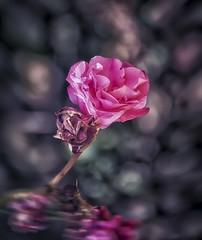 emozioni  (Luigi.glpy) Tags: rosa fiore bokeh emozioni