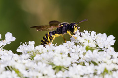 BeeOnQueenAnnsLace (Cindee Snider Re) Tags: queenannslace bee pollination nature summer whiteflower insect