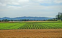 Greener Fields (sjrankin) Tags: 23july2016 edited kuriyama hokkaido japan farms fields flat plain hdr