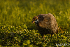 Arabuan Helmeted Guineafowl (ALJUFAIN KUWAITI) Tags: dubai uae sharjah guineafowl fowl waleed kuwait aljufain