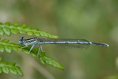 White Legged Damselfly (terrylaws526) Tags: wildlife damselflies whiteleggeddamselfly
