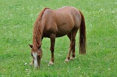 _MAR0323 (Markoliini) Tags: nikon d300 70200 natur nature luonto hevonen hst horse