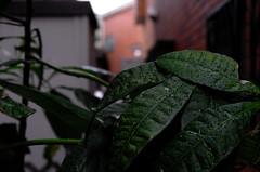 Raindrops on the avocado leaves (hidesax) Tags: leica home japan x deck rainy saitama rainyseason vario ageo hidesax raindropsontheavocadoleaves