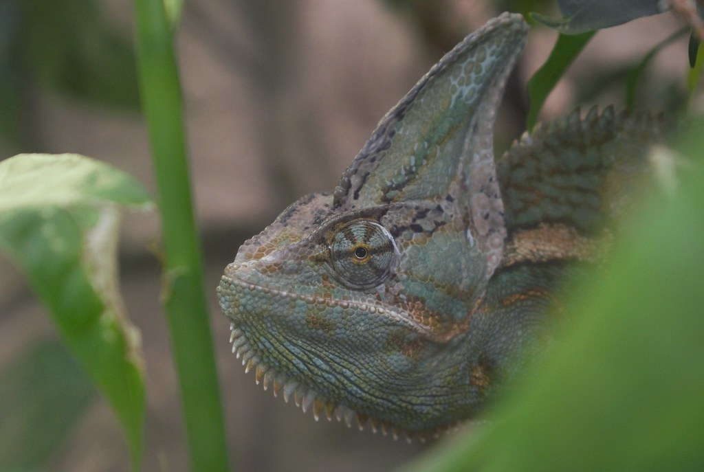 (natlou_2506) Tags: chameleon animal animals green camouflage ...