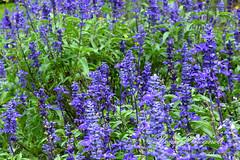 DSC_32142016_01_30_7503b-Ronei Brognoli (Ronei Brognoli) Tags: lavendel lavender lejardimparquedelavanda gramado gramadocity roneibrognoli riograndedosul serragaúcha lavanda alfazema brasil brazil flor fiore flower flores nature natureza