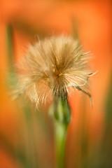 Dandelion Like Seeds f1.2 (dennisgg2002) Tags: towerhillbotanicalgardenboylston massachusetts flowers vintage lens wide open