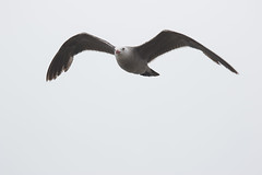 Heermans Gull (J.B. Churchill) Tags: birds ca california gullsterns heeg heermansgull places sandiego sunsetcliffs taxonomy unitedstates us