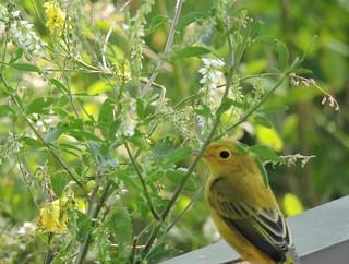 Paruline jaune - Yellow Warbler.......3 Juillet 2014...DSCN09911