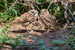Burrowing Owls (marzipan bunny) Tags: arizona birds animals zoo tucson desertmuseum 14 july raptor owl birdsofprey arizonasonoradesertmuseum burrowingowl asdm 2016 zoophotography desertmuseumarizonasonorandesertmuseum