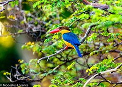 Stork-billed kingfisher [Explored] (Modestus Lorence) Tags: birds kingfisher singapore storkbilled colourful canon 5dsr 500mmf4isii