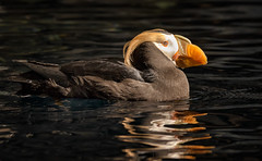 Tufted Puffin ... explored (alicecahill) Tags: usa bird animal alaska puffin captive seward tuftedpuffin alaskasealifecenter alicecahill