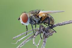Clytiomya sola (Cristian Arghius) Tags: macro insect fly naturallight focusstack canoneos5dmarkii nikonpb6bellows zerenestacker rodenstockaporodagond7545 rrstp243tripod arcaswisscubetripodhead clytiomyasola