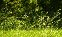 softly blowing (Dotsy McCurly) Tags: soft softly blowing grasses nature beautiful nikon d750 bokeh dof nj park
