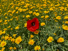 It's good to be different! (Englepip) Tags: flowers red summer plants colour green field yellow daisies different outdoor poppy