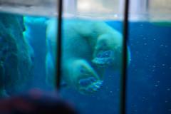 2016 北海道D6 4x6 3273 (chaochun777) Tags: 北海道 旭山 動物園 露營 自由行 猴子 長臂猿 猩猩 雲豹 花豹 老虎 獅子 北極熊 企鵝