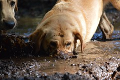 Part Hippo part guide dog puppy. (Sharron Burns) Tags: woods wallowinginmud guidedogpuppy labrador mud dog