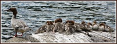 Goosander brood. (stu.bloggs..Dont do Sundays) Tags: goosander family brood young youngsters rock lake water lakedistrict cumbria wildlife birds bird waterfowl breeding july 2016 female adult goslings