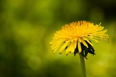 Lwenzahn (little_Monk) Tags: lwenzahn blte gelb flower yellow dandelion