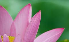 Lotus (asusmt) Tags: lotus flower petal close stamen pistil green blur bokeh summer detail nikon nikond5100