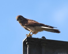 kestral shirebrook valley sheffield (Simon Dell Photography) Tags: kestral kez bop