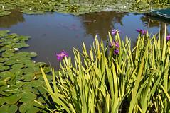 Can You See the Fish (Jocey K) Tags: newzealand bankspeninsula southisland motukarara irisgarden iris pond lilypond reflections flowers
