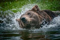 Water Fun ... (ddimblickwinkel) Tags: nikon tamron wasser water br bear tier animal wild wildnis wood brown bea nik d300 d300s