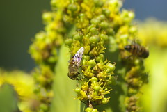 Hoverflies (Syrphidae) (zentience) Tags: mimicry insect insects fly flies