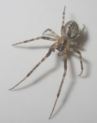 IMG_2368 Spider (John Steedman) Tags: spinne araigne araa uk unitedkingdom england   greatbritain grandebretagne grossbritannien      durham