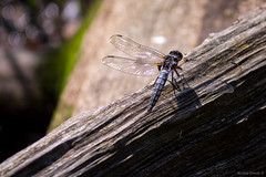 Dragonfly (NykO18) Tags: animal bug canada dragonfly forest insect lacdesfemmes laurentides monttremblant monttremblantnationalpark northamerica parcnationaldumonttremblant qc qubec tree trees woods