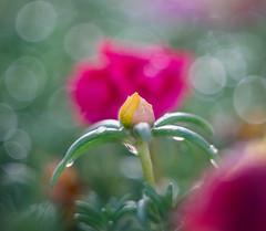 Tears of joy (JohnNguyen0297) Tags: closeup macro bokeh helios helios44258mm 58mm floral a6000 ilce6000 johnnguyen johnnguyen0297 hbw happy wednesday blurry softfocus soft