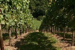 ckuchem-1434 (christine_kuchem) Tags: ahrtal anbau anbaugebiet eifel felsen rotweinwanderweg schiefer schieferfelsen sommer weinanbau weinberg weintraubenanbau weintrauben