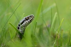 Vipre pliade (Laura Carrier) Tags: vipre pliade vipera berus france nikon d7000 macro auvergne col de serre serpent tamron 90mm herptologie herpeto faune macrophotographie auvergnerhnealpes rhnealpes puy mary