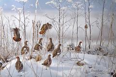 Gray Partridges / Perdrix grises (DanSar49) Tags: daniel sarrazin mpdquebec danielsarrazin perdrixgrisepartridge