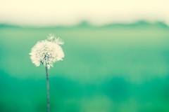 wishing flower (julesraven) Tags: flower 35mm spring fuji dandelion wish xt1 wishingflower