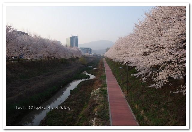 양재천벚꽃14