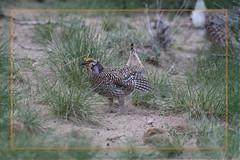 Sharpie Struttin (All Eyes Photography) Tags: sharptail grouse