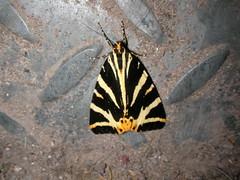 moth (menchuela) Tags: tigermoth menchuela