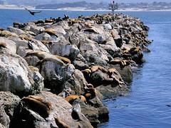 Sea Lions on the Rocks (Joe Lach) Tags: california pier monterey rocks jetty montereybay pacificocean sealions breakwater montereypeninsula joelach
