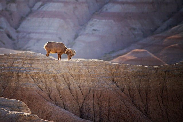 morninglight solitude wildlife ram moutains bighornsheep southdakotabadlands southdakotatourism karenhunnicutt karenmeyer karenhunnicuttphotographycom roadtrip2013 minneapolisfineartphotography