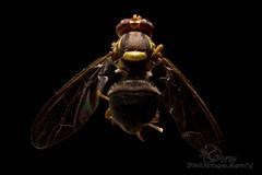 Queensland Fruit Fly (Bactrocera tryoni) (Jbdorey) Tags: macro nature fruit james fly focus australian brisbane stack queensland pest diptera dorey tryoni bactrocera jbdorey