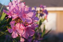 early morning oleander and window (johngpt) Tags: flowers flower window places oleander intheneighborhood hww windowwednesdays fujifilmxt1 micronikkor55mmf28aisimp fotodioxnikfxadapter