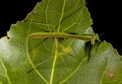 Untitled1 (advertisingwv) Tags: west macro bug mantis insect virginia sony praying josh southern wv alpha a77 mantid shackleford beckley advertisingwv