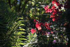 ckuchem-5453 (christine_kuchem) Tags: herbst garten farn bunt farben leuchten naturgarten herbstgarten
