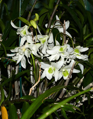 Dendrobium Ise primary hybrid orchid, 1st bloom  6-16* (nolehace) Tags: nolehace spring fz1000 616 flower bloom plant dendrobium ise primary hybrid orchid sanfrancisco